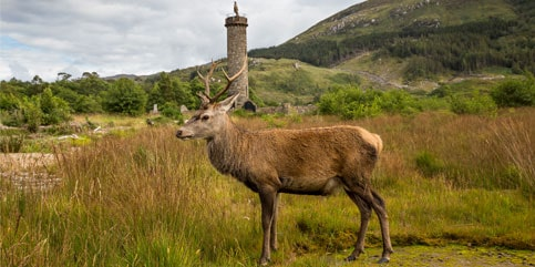 Rotwild am Glenfinnan Monument, Highlands ©VisitScotland/Kenny Lam